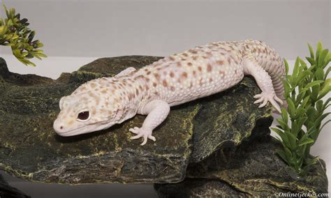 buy house gecko house gecko for sale reptile gallery