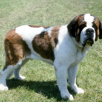 st bernard australian shepherd mix puppies for sale pics for gt bernard scotch shepherd mix