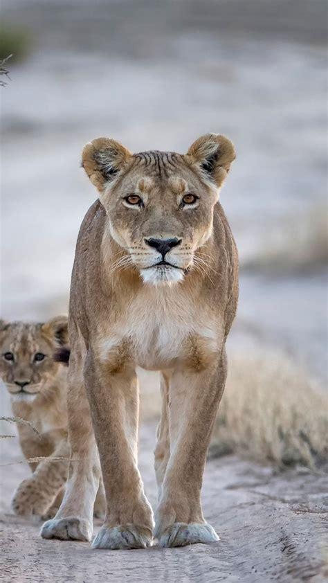 wallpaper lion couple nature animals