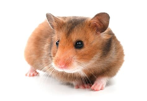 hamster breeds types of hamsters