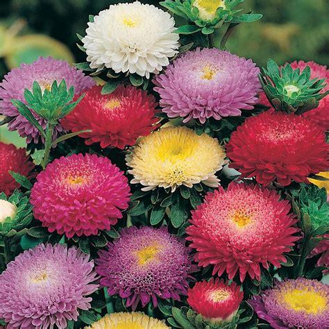 Jual Bibit Bunga Kertas jual benih biji bunga aster pompon mixed hias bunga