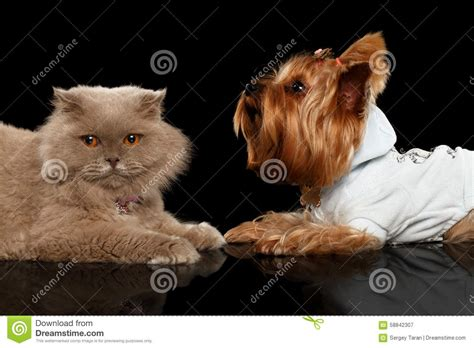 yorkie and cats scottish cat and terrier isolated stock photo image 58842307