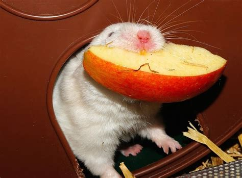 can my eat apples can hamsters eat apples tips