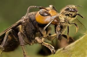 Japanese giant hornets japan calendar earth