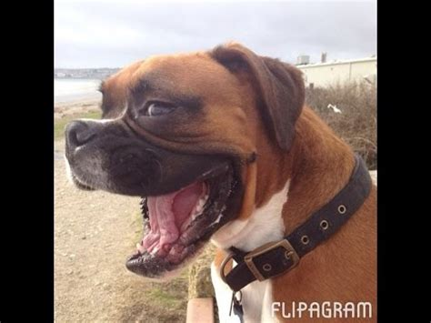 Boxer Dog Meme - boxer meme www pixshark com images galleries with a bite