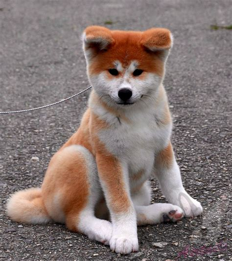 akita inu puppies for sale pin akita inu puppies for sale on
