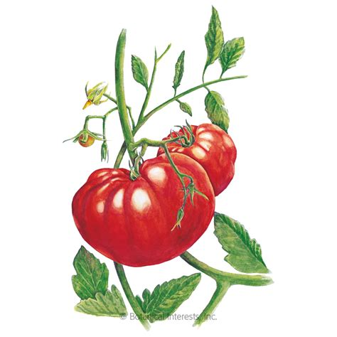beefsteak pole tomato seeds view  vegetables