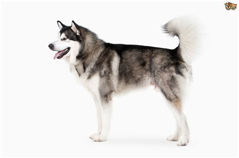 alaskan dogs alaskan malamute breed information buying advice photos and facts pets4homes