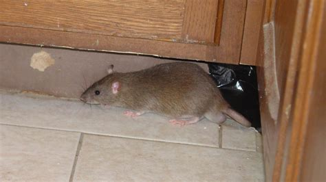 how to get a rat out of your house destroying rat burrows how to get rid of norway rats in your guilford ct home