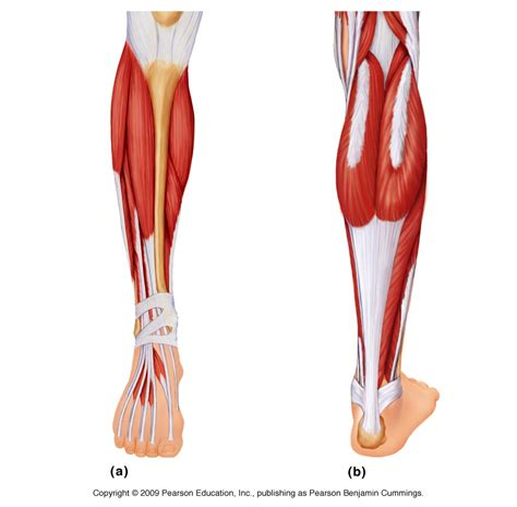 lowered muscle photos muscles of the lower leg anatomy diagram charts