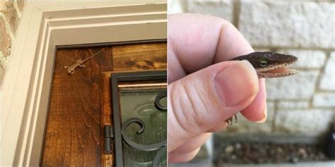 how to remove lizard from room houston resident calls animal to remove alligator that turns out to be lizard