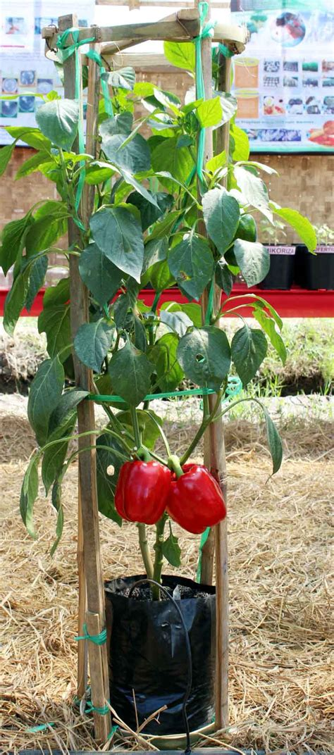 Benih Paprika Merah Pack yuk panen paprika di pot bebeja