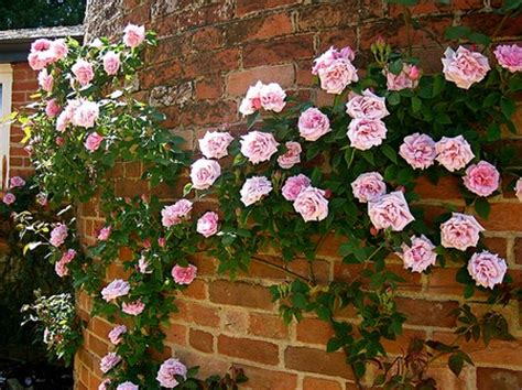 best way to plant scented roses for garden walls and fences