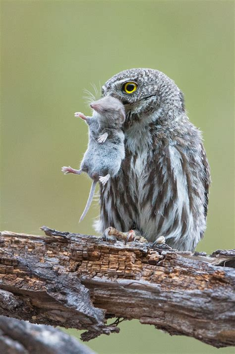 the owl who was why you shouldn t feed or bait owls audubon