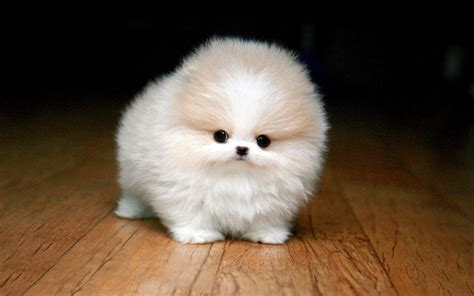 white micro teacup pomeranian puppy adorably sweet puppies teacup pomeranian edition page 3 of 4 i cutie pets