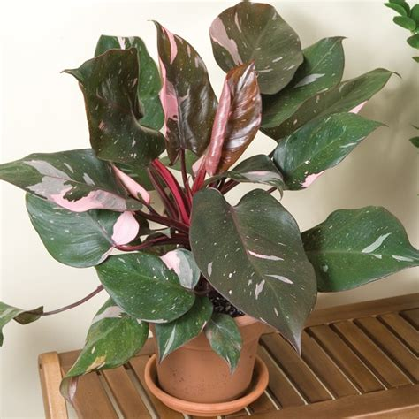 unique indoor plants houseplants for sale plant green plants awesome philodendron pink princess philodendron erubescens
