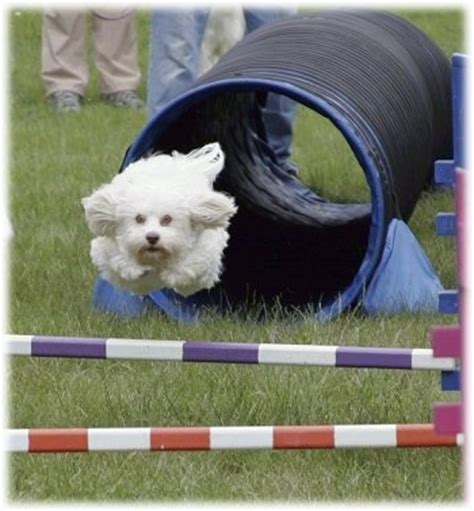 havanese agility those amazing dogs 11