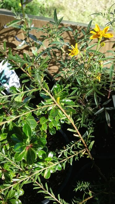 plant sale mount lofty botanic gardens adelaide