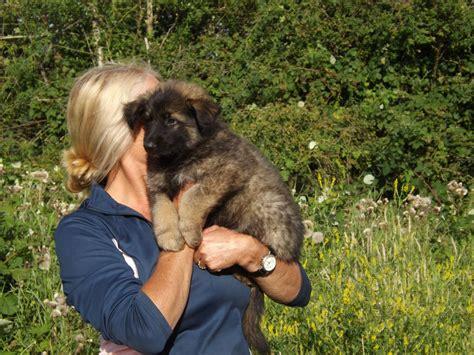 belgian german shepherd german shepherd cross belgian malinois breeds picture
