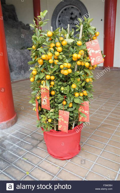 money plant for new year lime tree decorated with packets for new year