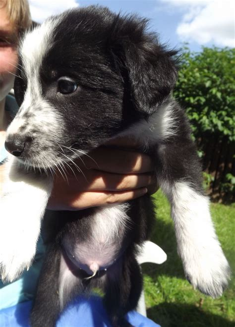 black and white border collie puppy 1 black and white border collie puppies for sale braintree essex pets4homes