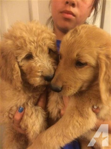 golden retriever puppies san jose goldendoodle puppy i look like a golden retriever for sale in san jose california