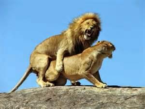 imagenes de leones y gatos curiosidades sobre animales