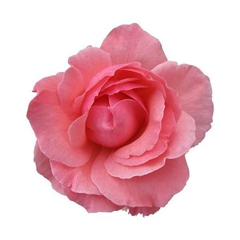google pink roses 17 best images about baptism on pinterest dibujo