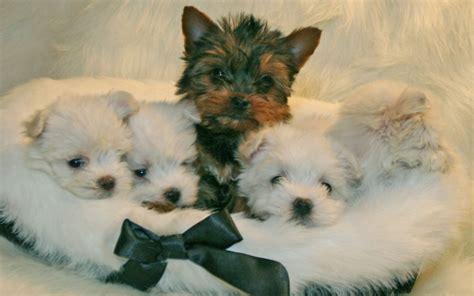 lil puppies sweethearts puppies wallpaper 22409905 fanpop