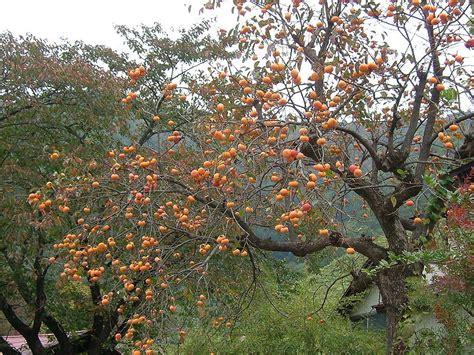 japanese fruit tree persimmon the fruit of the gods deb s garden deb s