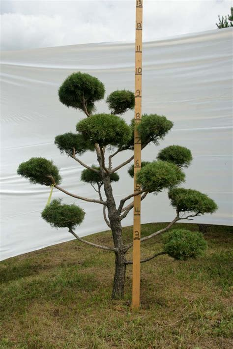 scotch pine topiary 187 scotch pine topiary tree 143 plants beautiful nursery