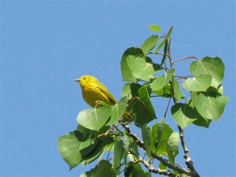 Backyard Yellow Birds Backyard Birds Yellow Warbler Birds Calgary