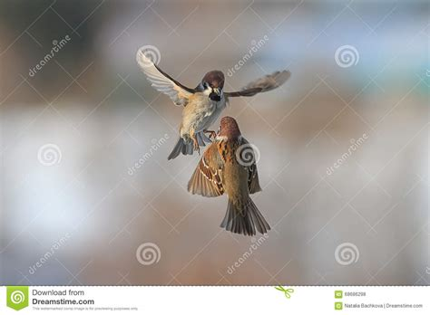 two birds sparrows flying in the air stock photo image 68686298