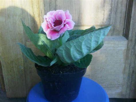 Tanaman Bunga Hias Gloxinia Pink by Tanaman Gloxinia Pink Bibitbunga