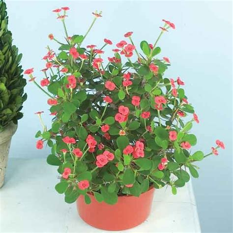 euphorbia milii dwarf crown  thorns splendens  pot