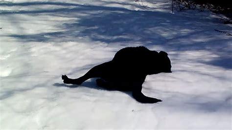 Koko Rafif labradorinnoutaja heitt 228 ytyy makaamaan lumeen sen