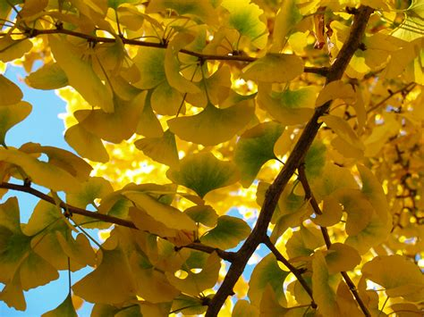 maidenhair tree friends of the urban forest