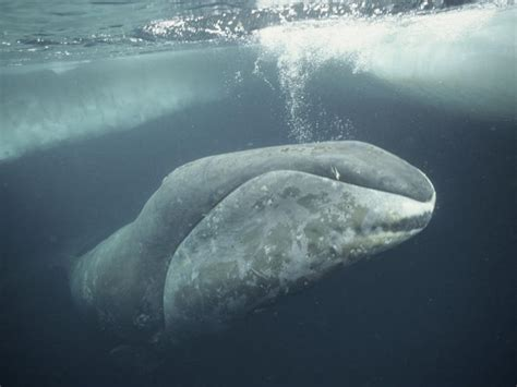 Whale Overall bowhead whale species wwf