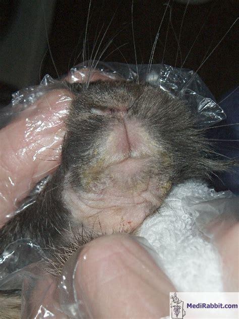 Rabbit Skin Diseases Pictures