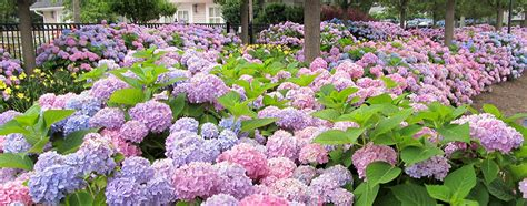 Dannis Sarimbit D Sun Flower varieties of hydrangeas plants garden inspiration