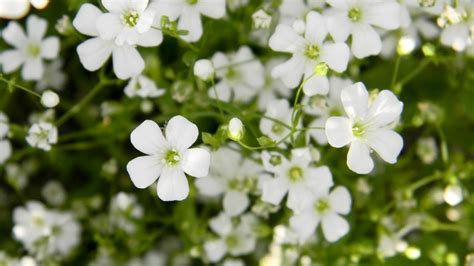 baby s breath bright apple blossom