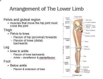 1 overview of the lower limb gluteal region at american