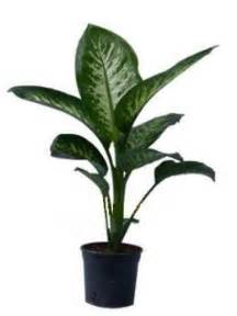 House Planet warning this common quot house plant quot can kill hubpages