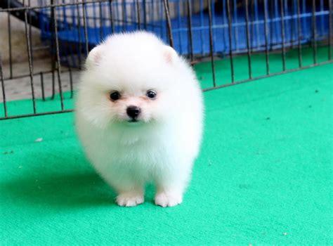 Anjing Lucu Imut pelapak anjing mini pom imut dan lucu