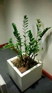 долларовое дерево фото и названия