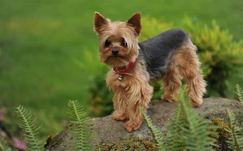 how big can yorkies get cutest breeds adorable things to enjoy