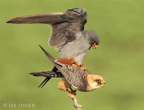 mating falcons birds photography awesome nature