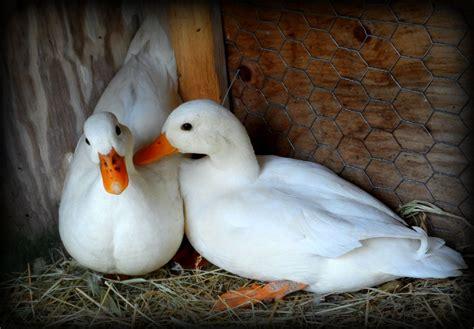 White Call Ducks