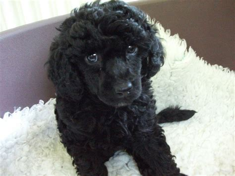 miniature puppies miniature poodle puppies spalding lincolnshire pets4homes