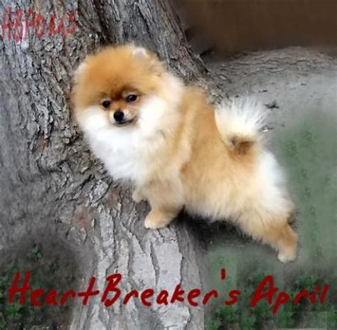 black and white teacup pomeranian for sale white pomeranian white teacup pomeranian puppies for sale puppy los m5x eu